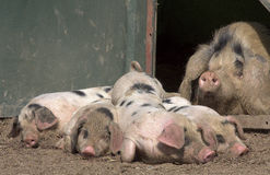 Mummy pig looking over her wonderful piglets Stock Photography