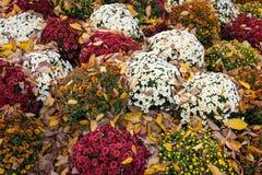 Mums και φύλλα Στοκ φωτογραφίες με δικαίωμα ελεύθερης χρήσης