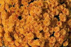 Mums. Colorful fall flower background - mums Stock Photography