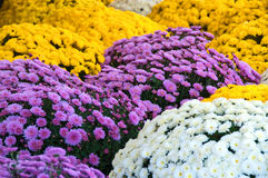 Mums. An assortment of lavender, white, and yellow fall mums Royalty Free Stock Photo