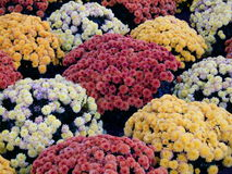 Mums. Bed of mums, variety of colors, very healthy stock, and softly lighted royalty free stock images