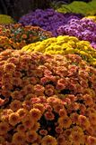 Mums. Grouping of colorful fall mums royalty free stock photography
