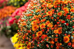 Free Mums Royalty Free Stock Images - 44937549