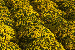Mums amarelos Imagem de Stock