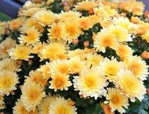 Mums amarelos Foto de Stock Royalty Free