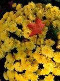 Mums amarelos com lembrete da queda Imagem de Stock