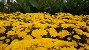 Mums amarelos de Chrysantemum/jardim Fotografia de Stock Royalty Free