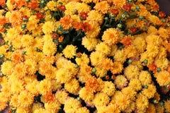 Mums amarelos vibrantes imagem de stock royalty free