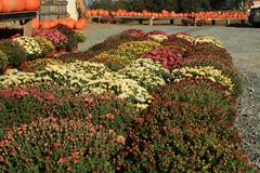 Mums in Autumn Stock Photos