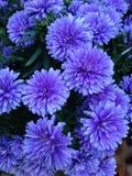 Mums azuis Fotografia de Stock