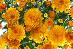 Mums background Royalty Free Stock Photo