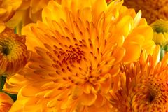 Mums background Stock Images