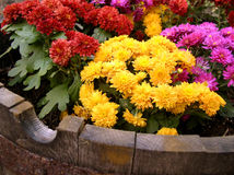 Mums in a Barrel. Brightly colored chrysanthemums planted in a half-cut barrel Stock Images