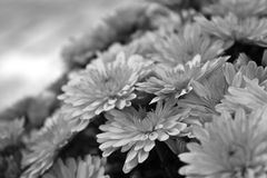 Mums in black and white Royalty Free Stock Photo