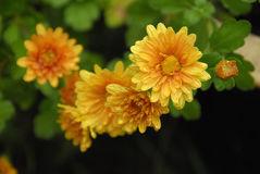 Mums in bloom. Chrysanthemums blooming in the fall stock photos