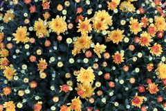 Mums in Bloom royalty free stock photography