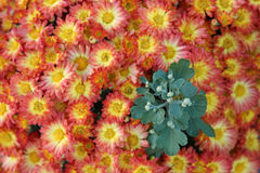 Mums and buds. Orange and yellow Mum plant with green buds showing through Royalty Free Stock Photo
