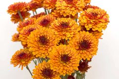Mums in a Bunch. Bouquet of mums with a white background royalty free stock image