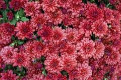Mums cor-de-rosa escuros do outono Imagens de Stock
