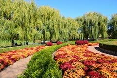 Mums da queda no jardim botânico de Chicago foto de stock royalty free