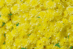 Mums detail textured yellow floral impressionism style art. Abstract yellow mums  brush stroke textured oil painting Stock Photography