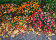 Mums e fundo das folhas Imagem de Stock Royalty Free