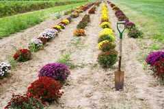 Mums at a farm. Rows of mums ready for picking at a farm in Indiana stock image