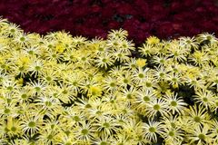 Mums in flower garden Royalty Free Stock Photography