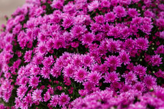 Mums Stock Images