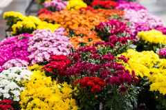 Mums. Flowering mums in alrge quantaties in the garden royalty free stock images