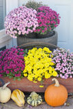 Mums. Flowering Crysanthemum display with purple, violet and yellow mums all blooming by some pumpkins and squash for a harvest festival stock image