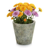 Mums Flowers. In A Flower Pot stock photo