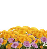 Mums Flowers. On White Background royalty free stock image