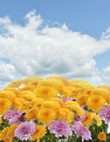 Mums Flowers. Against A Blue Sky stock images