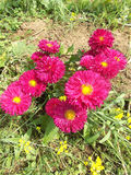 Mums flowers crysanthemum Royalty Free Stock Image