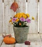 Mums Flowers And A Pumpkin Stock Photo