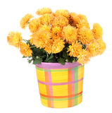 Mums Isolated Royalty Free Stock Images
