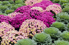 Mums and Kale Kaleidoscope Royalty Free Stock Images