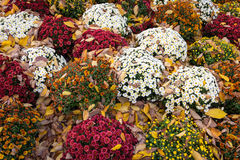 Mums and Leaves Royalty Free Stock Photos