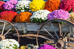 Mums and Old Farm Wagon Wheels. Colorful fall mums on display in an old farm wagon stock photography