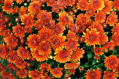 Mums. Photograph of an cluster of mums taken in a garden Royalty Free Stock Images