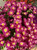 Mums in pink. Mums in a deep deep pink color stock images