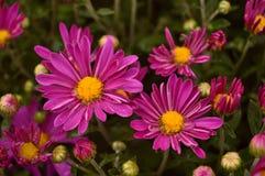 Pink Chrysanthemum flowers Royalty Free Stock Photo