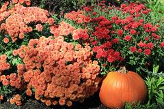 Mums and pumpkin. Orange and red mums with a pumpkin in the foreground royalty free stock photography