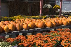 Mums and Pumpkins. Autumn Display of Mums and Pumpkins Stock Image