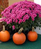 Mums And Pumpkins Royalty Free Stock Photos