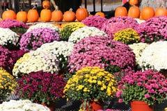 Mums and pumpkins Stock Photos