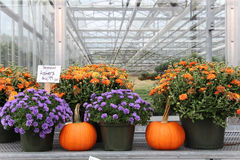 Mums and pumpkins. Colorful mums and pumpkins for sale at a greenhouse farm stand Royalty Free Stock Image