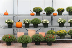 Mums and pumpkins. Fall mums and pumpkins on a shelf Royalty Free Stock Photography