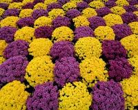 Mums roxos & amarelos Fotografia de Stock